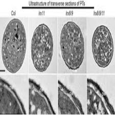 Coordinating Cell Walls and Cell Growth-taliem-ir