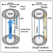 Drought impacts on phloem-taliem-ir