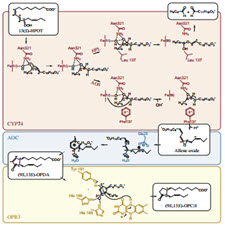 Enzymes-in-jasmonate-biosynthesis-Structure.[taliem.ir]