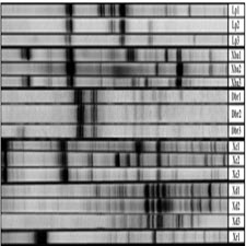 ISSR (Inter Simple Sequence Repeats) as genetic markers in[taliem.ir]